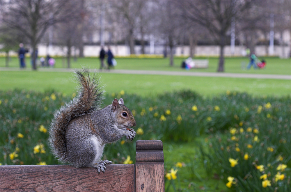 Cute squirrel In St. James's Park